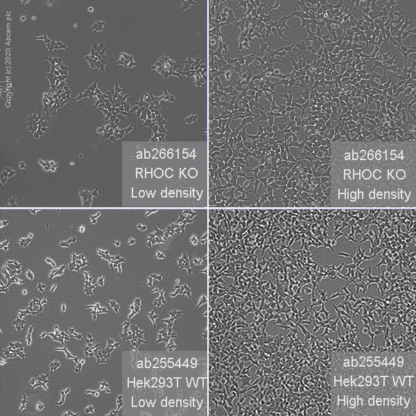 Cell Culture - Human RHOC knockout HEK293T cell line (ab266154)