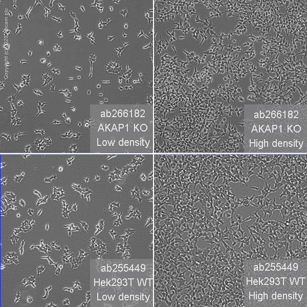 Other - Human AKAP1 knockout HEK293T cell line (ab266182)