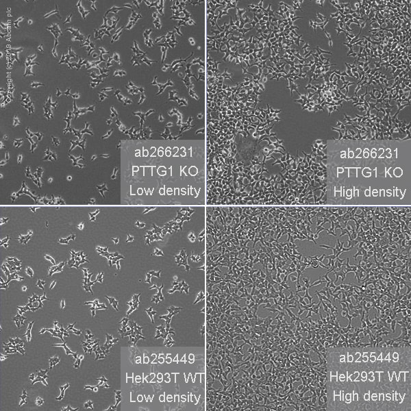 Cell Culture - Human PTTG1 (Securin) knockout HEK293T cell line (ab266231)