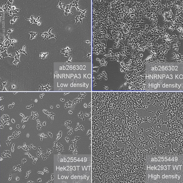 Cell Culture - Human HNRNPA3 knockout HEK293T cell line (ab266302)