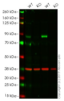 Western blot - Human CPT1A knockout HEK293T cell line (ab266319)