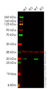 Western blot - Human HMGB2 knockout HEK293T cell line (ab266358)