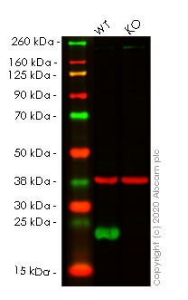 Western blot - Human PRDX2 (Peroxiredoxin 2/PRP) knockout HEK293T cell line (ab266392)