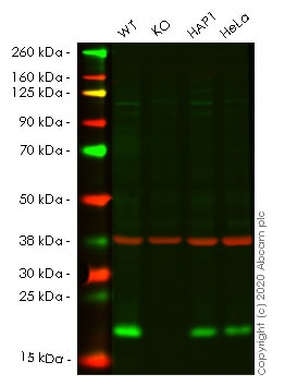 Western blot - Human NUDT1 (MTH1) knockout HEK293T cell line (ab266400)