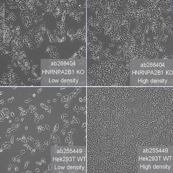 Cell Culture - Human HNRNPA2B1 knockout HEK293T cell line (ab266404)