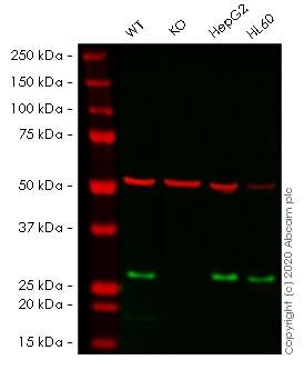 Western blot - Human NDUFS3 knockout HEK293T cell line (ab266419)