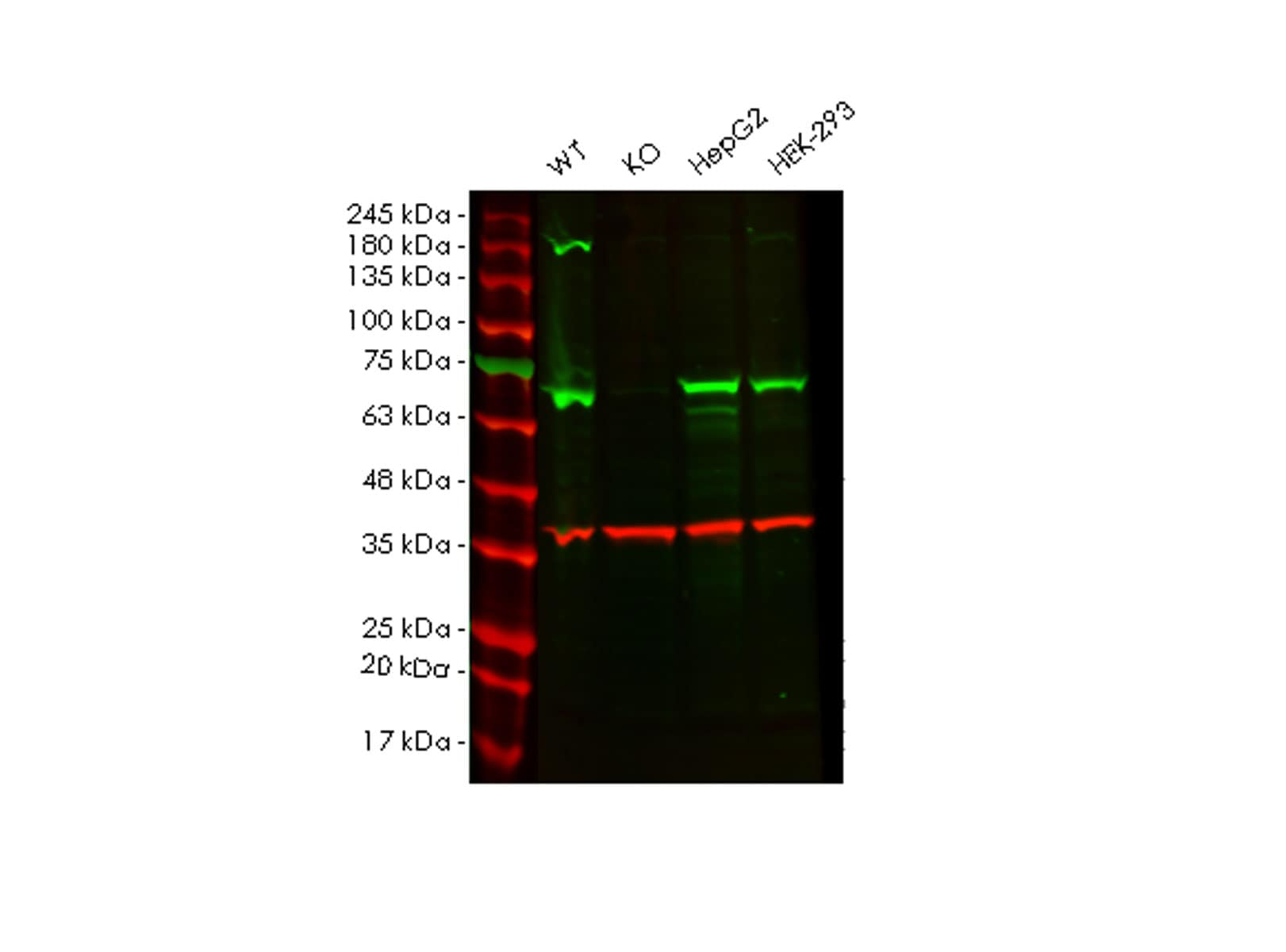 Western blot - Human ALAS1 knockout HEK293T cell line (ab266473)