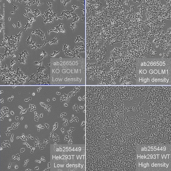 Other - Human GOLM1 knockout HEK293T cell line (ab266505)