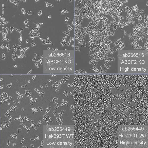 Cell Culture - Human ABCF2 knockout HEK293T cell line (ab266516)