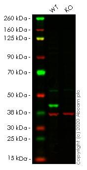 Western blot - Human MAPK3 (ERK1) knockout HEK293T cell line (ab266519)
