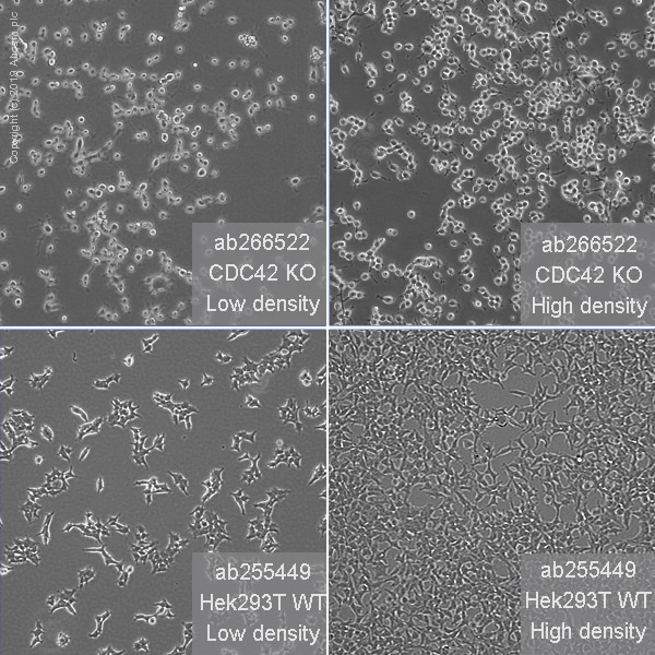 Cell Culture - Human CDC42 knockout HEK293T cell line (ab266522)