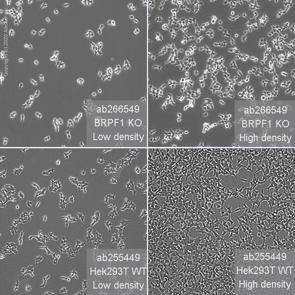 Cell Culture - Human BRPF1 (Peregrin) knockout HEK293T cell line (ab266549)