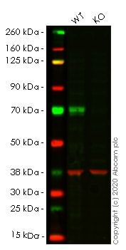 Western blot - Human MAP3K7 (TAK1) knockout HEK293T cell line (ab266555)