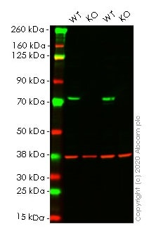Western blot - Human FUS knockout HEK293T cell line (ab266587)