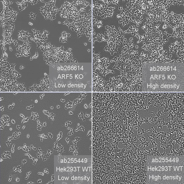 Cell Culture - Human ARF5 knockout HEK293T cell line (ab266614)