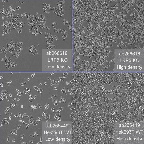 Cell Culture - Human LRP5 knockout HEK293T cell line (ab266618)
