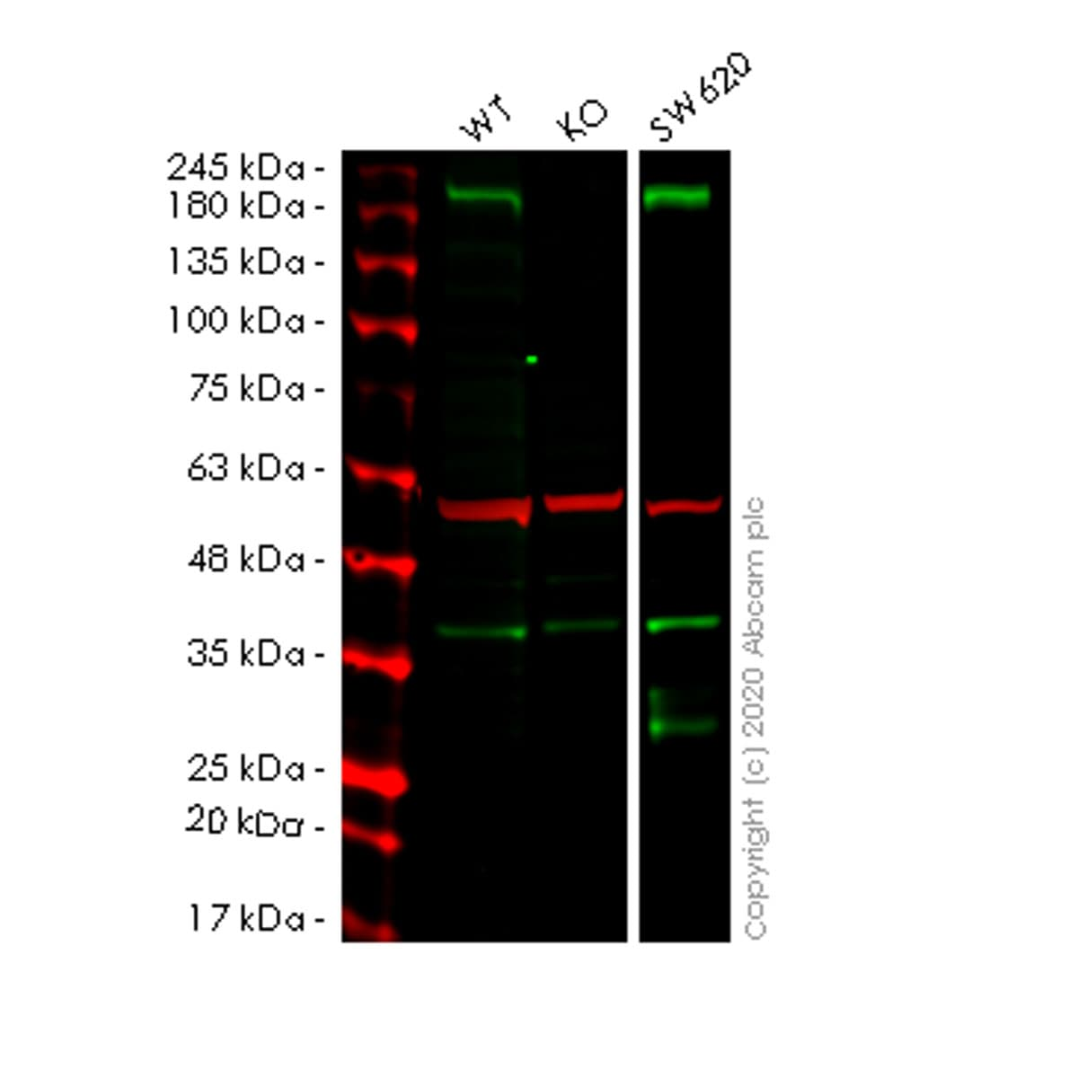 Western blot - Human LRP5 knockout HEK293T cell line (ab266618)