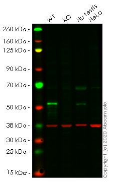 Western blot - Human STK11 (LKB1) knockout HEK293T cell line (ab266647)