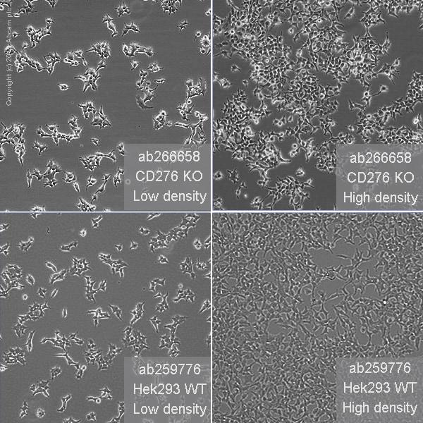 细胞培养-人CD276基因敲除HEK293T细胞系(ab266658)