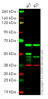 Western blot - Human IKBKG (IKK gamma/NEMO) knockout HEK293T cell line (ab266674)