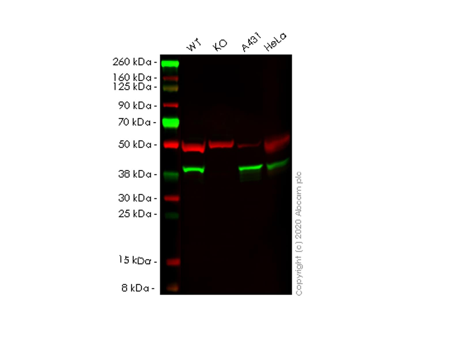 Western blot - Human NSDHL knockout HEK293T cell line (ab266682)