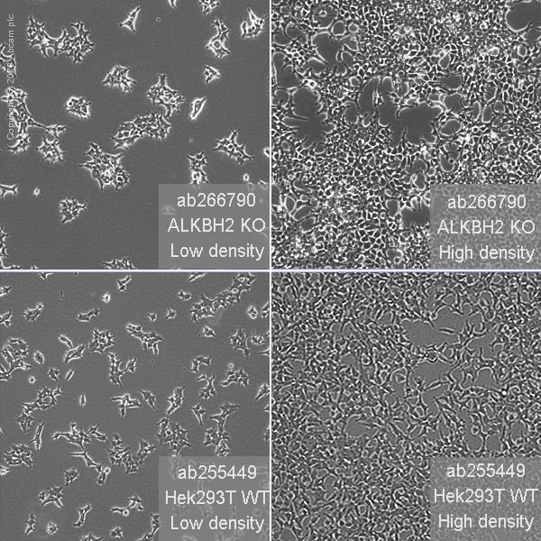 Cell Culture - Human ALKBH2 knockout HEK293T cell line (ab266790)