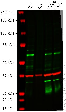 Western blot - Human TAB1 knockout HEK-293T cell line (ab266845)