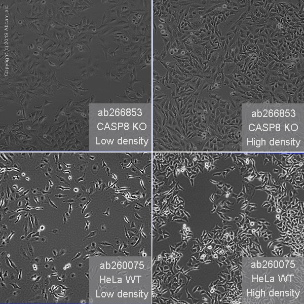 Other - Human CASP8 knockout HeLa cell line (ab266853)