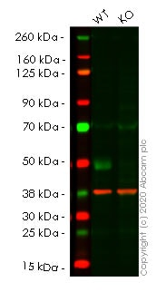Western blot - Human SLC9A3R1 (EBP50/NHERF-1) knockout HCT116 cell line (ab266876)