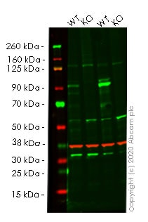 Western blot - Human TNFAIP3 knockout A549 cell line (ab266946)