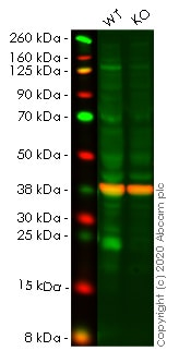 Western blot - Human ATF3 knockout A549 cell line (ab266955)