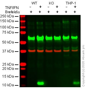 Western blot - Human CXCL10 (IP10) knockout A549 cell line (ab266971)