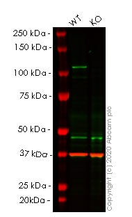 Western blot - Human STAT2 knockout A549 cell line (ab267005)