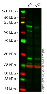Western blot - Human STAT2 knockout A549 cell line (ab267006)