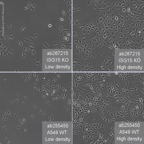 Cell Culture - Human ISG15 knockout A549 cell line (ab267215)