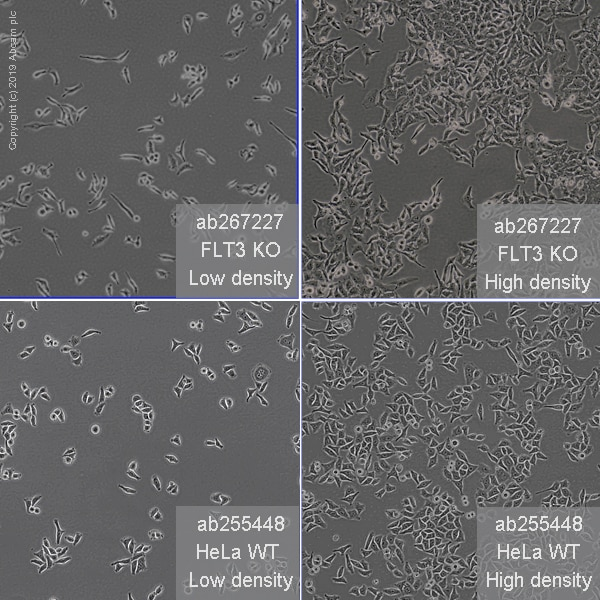Cell Culture - Human FLT3 (CD135) knockout HeLa cell line (ab267227)