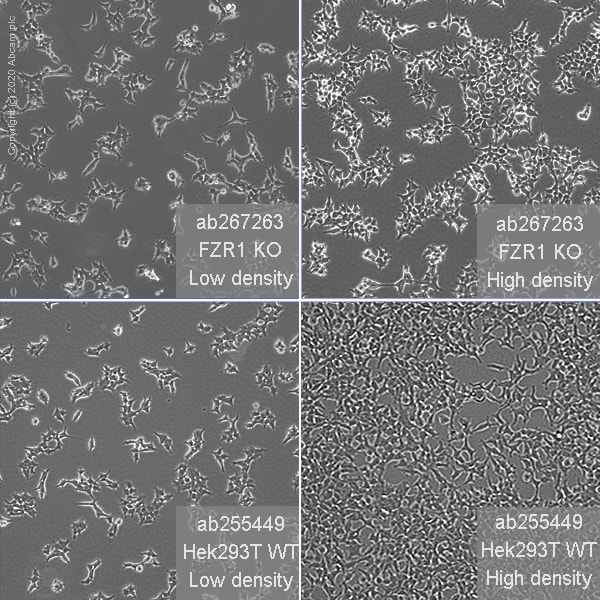 Cell Culture - Human FZR1 knockout HEK293T cell line (ab267263)