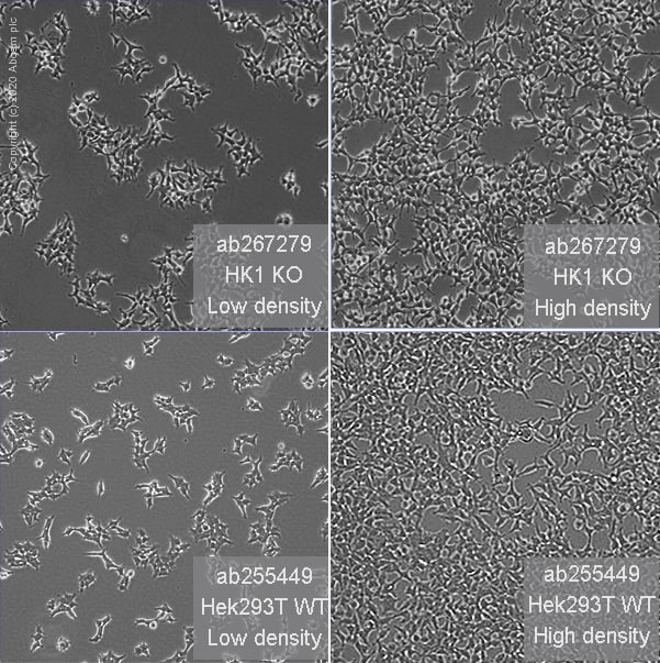 Cell Culture - Human HK1 (Hexokinase 1) knockout HEK293T cell line (ab267279)