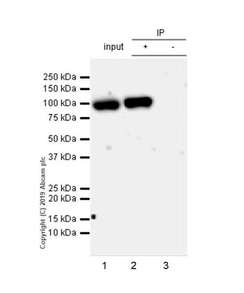 Immunoprecipitation - Anti-HIF1 beta antibody [EPR23106-55] - BSA and Azide free (ab267343)