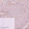 Immunohistochemistry (Formalin/PFA-fixed paraffin-embedded sections) - Anti-IGF1 Receptor antibody [EPR23027-204] - BSA and Azide free (ab267345)