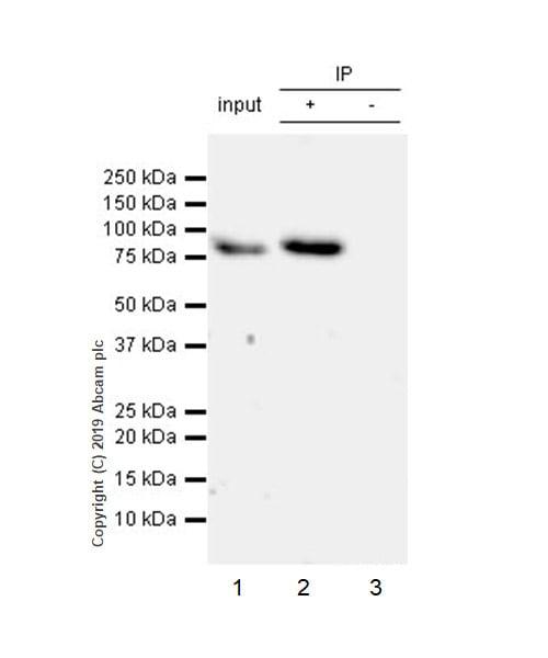 Immunoprecipitation - Anti-GMEB1 antibody [EPR23056-62] - BSA and Azide free (ab267346)