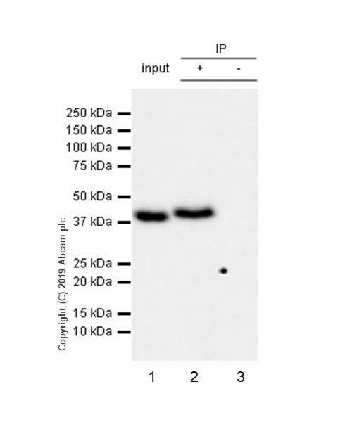 Immunoprecipitation - Anti-WWOX antibody [EPR23109-138] - BSA and Azide free (ab267348)