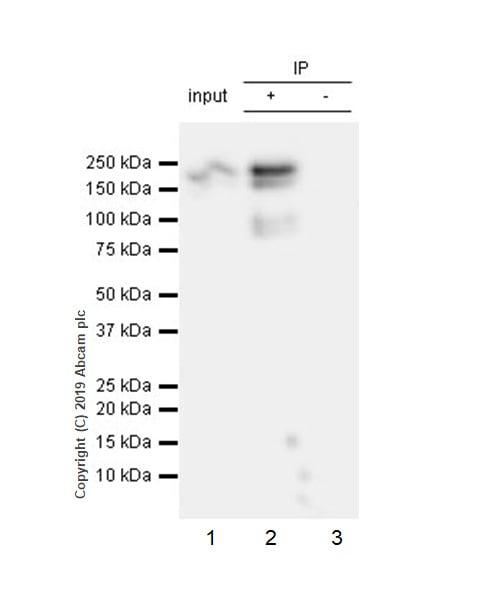 Immunoprecipitation - Anti-Thrombospondin 1 antibody [EPR22927-54] (ab267388)