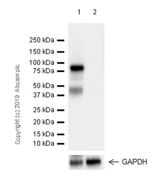Western blot - Anti-Extracellular matrix protein 1 antibody [EPR22411-279] - BSA and Azide free (ab267392)