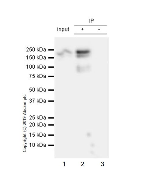 Immunoprecipitation - Anti-Thrombospondin 1 antibody [EPR22927-54] - BSA and Azide free (ab267397)