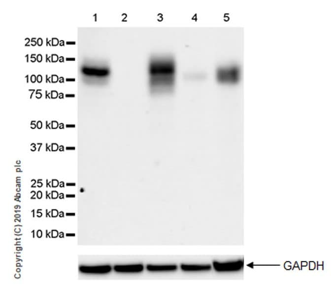 Western blot - Anti-IL-17RA Receptor antibody [EPR22831-5] - BSA and Azide free (ab267402)
