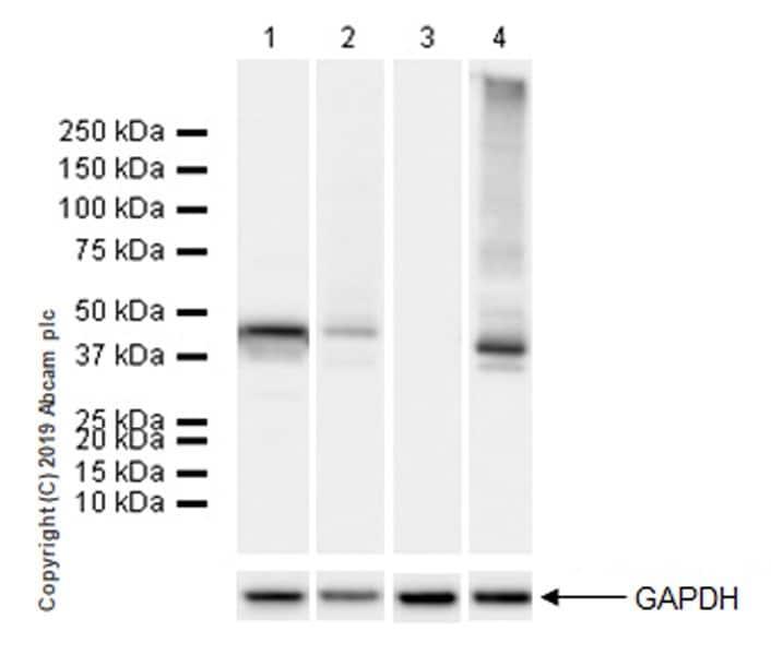 Western blot - Anti-SerpinB2/PAI-2 antibody [EPR22924-56] (ab267463)