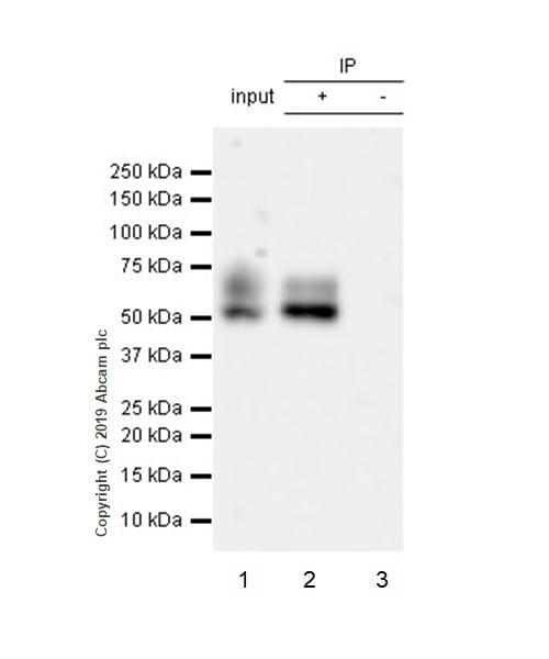 Immunoprecipitation - Anti-Apo-H antibody [EPR23087-228] (ab267464)
