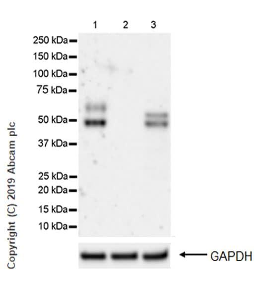 Western blot - Anti-Apo-H antibody [EPR23087-228] (ab267464)