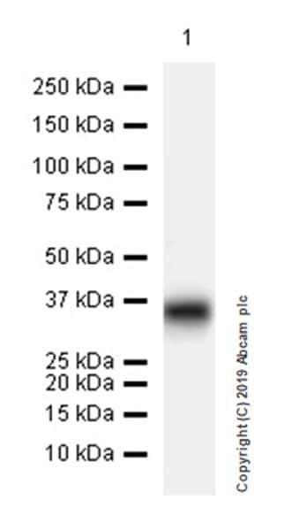 Western blot - Anti-Fibromodulin antibody [EPR23029-174] (ab267465)